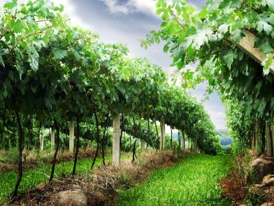 MACHINES FOR ORCHARDS AND VINEYARDS